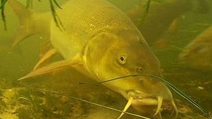 Barbel Days and Ways contains some fantastic underwater filming